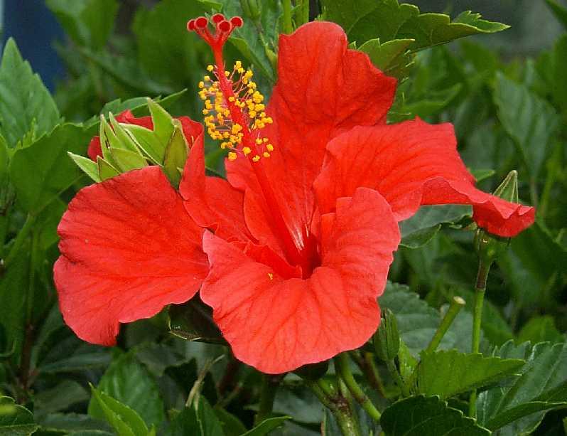 Гибискус национальный цветок Малайзии. wpid IfD GsLiZAM Гибискус национальный цветок Малайзии.