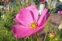 Sonata Cosmos Flower