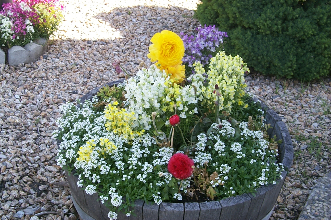 half wine barrel with ranunculus, linaria, alyssum