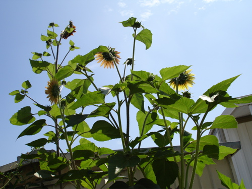 Giant Mexican Sunflowers